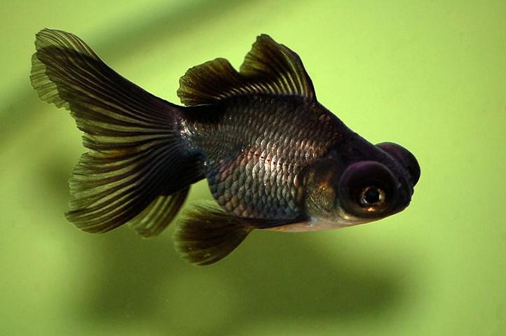 Как выглядит рыба телескоп