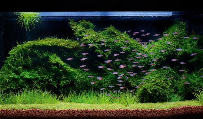 Как прирастить мох к декорации в аквариуме Как сделать
